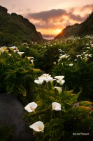 Calla Lillies, Big Sur, Sunset, California, Coast