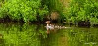 BWCA, Boundary Water Canoe Area, Northern Minnesota, Minnesota, Summer, Ducks, Merganser Ducks, Family