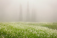 Wonderland Trail, Backcountry, Rainier National Park, WA, meadows, wildflowers, fog