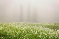 Wonderland Trail, Backcountry, Rainier National Park, WA, meadows, wildflowers, fog