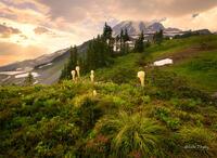 Beargrass,Mt Rainier National Park, rainier