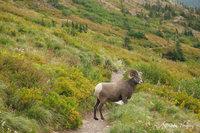 glacier national park, MT, Montana, GNP, many glacier, big horn sheep