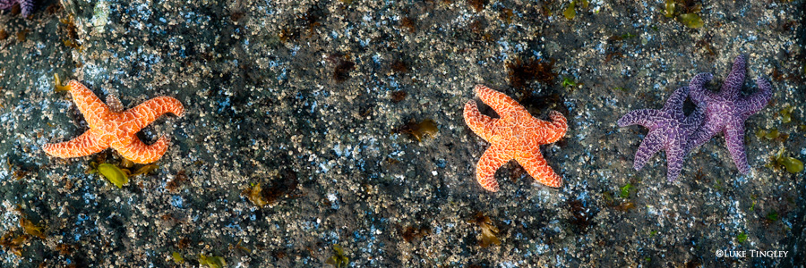 Starfish cling to a rock at low tide on Ruby Beach.
