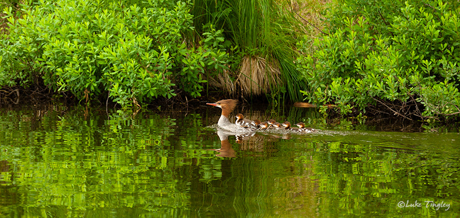 BWCA, Boundary Water Canoe Area, Northern Minnesota, Minnesota, Summer, Ducks, Merganser Ducks, Family, photo