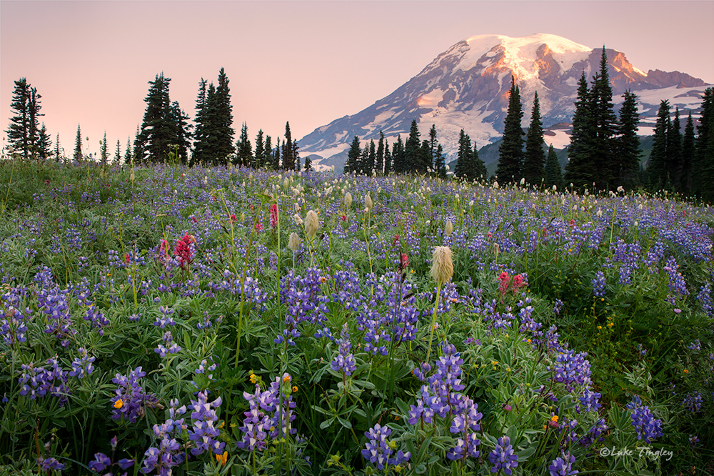 Mazama Ridge,Mt Rainier National Park,Wildflowers,rainier,sunrise, lupine