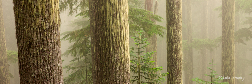 Mt Rainier National Park,Wonderland Trail,fog,forest,trees