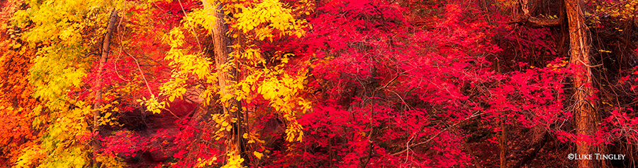 Fall colors in full bloom near the Virgin River in Zion National Park, Utah.