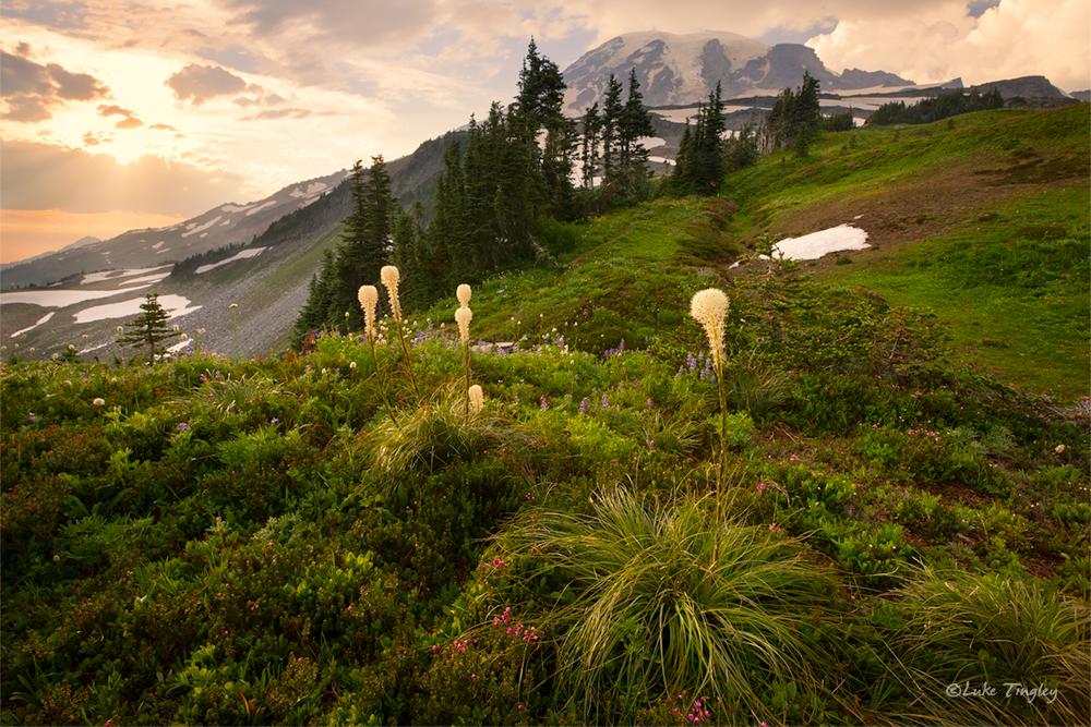 Beargrass,Mt Rainier National Park, rainier, photo