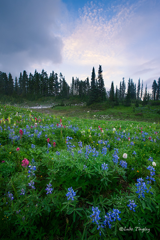 A brief moment of blue sky and wild flowers as far as the eye can see on Mazama Ridge.