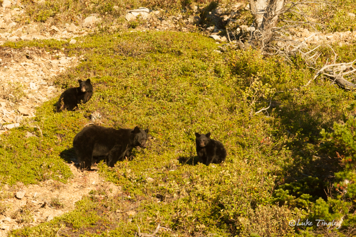 glacier national park, MT, Montana, GNP, many glacier, black bear, cubs, photo