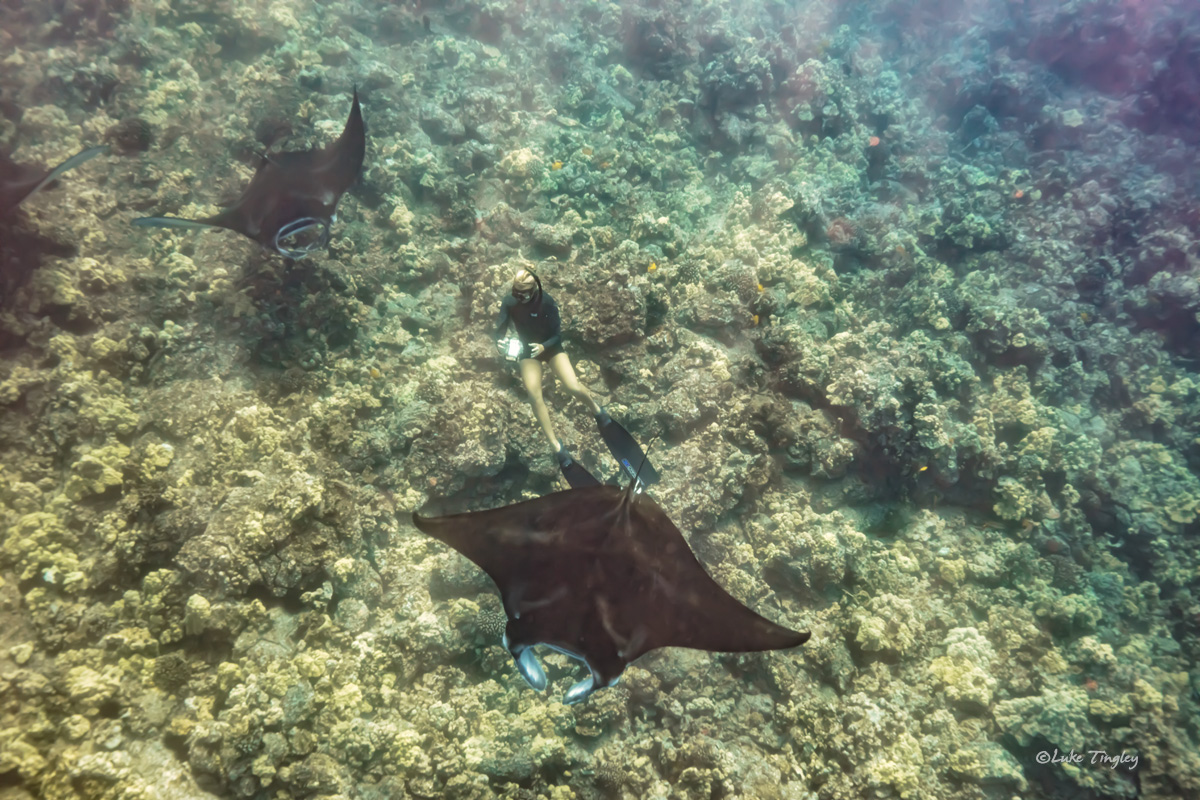 Kona, Hawaii, Manta Ray, Free Diver, Big Island